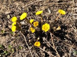 Hieracium pratense or Hieracium scabrum ?