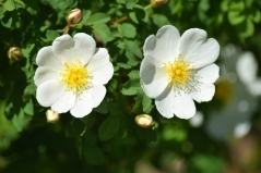 "Rosier hybride spinosissima ""Ardelia"""
