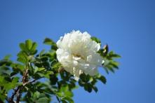 "Rosier hybride spinosissima ""Double White Altaï"""