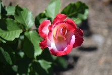 "Rosier Floribunda ""Easy Going"""