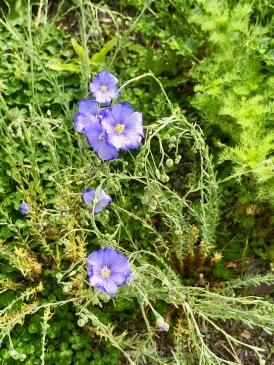 Lin / Blue Flax / Linum lewisii