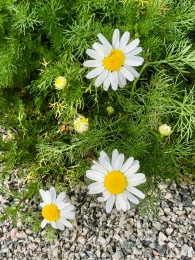 Camomille / Mayweed / Anthemis cotula