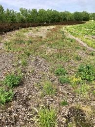 champs de trèfles incarnats