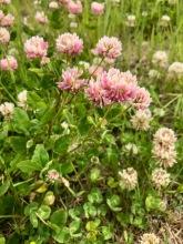 Trèfle hybride / Alsike Clover / Trifolium hybridium