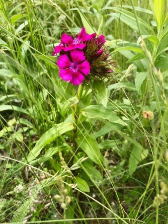 Oeillet de poète / Sweet William / Dianthus barbatus