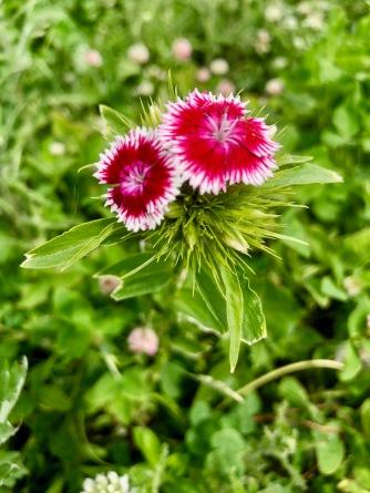 Oeillet de poète / Sweet William / Dianthus barbatus