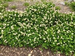 Trèfle blanc / White Clover / Trifolium repens