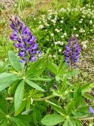 Lupin vivace / Wild Lupine / Lupinus perennis
