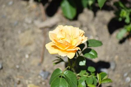 """Rosier hybride de thé """"Royal William"""""""