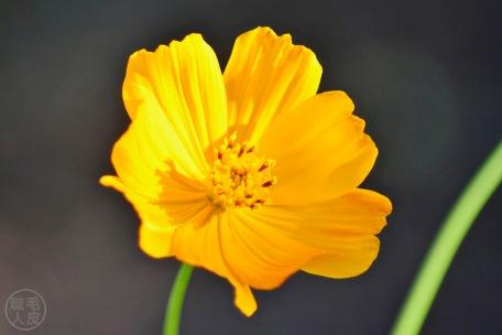 Cosmos sulphureus / Yellow Cosmos