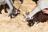 Chèvres (#109)
