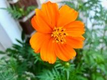 Cosmos? dans mon jardin / in my garden