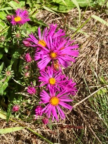 Pink aster & a bee
