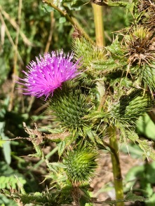 Thistle with a pink punk hairdo