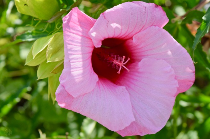 """Hibiscus musqué """"Luna Rose"""""""