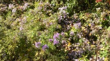 Asters and weeds