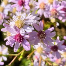Some sort of aster?