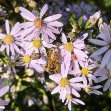 Bee on a pink aster