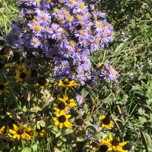 Asters & rudbeckia