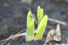 Daffodil / Jonquille / Narcissus jonquilla
