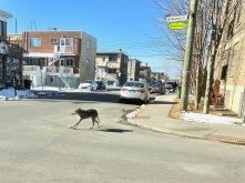Urban coyote 1