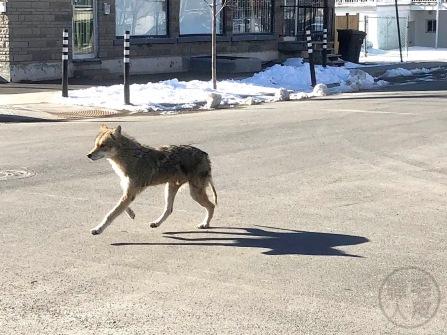 Urban coyote 2