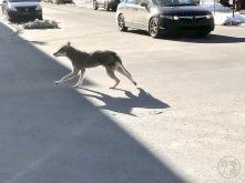 Urban coyote 3