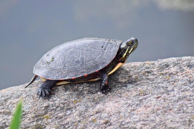 Tortue peinte - Painted turtle