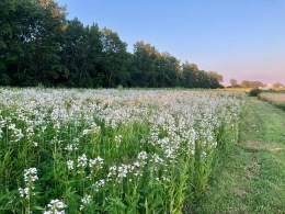 a field of white flowers