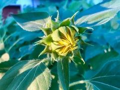 Tournesol sur le point d'éclore / sunflower bud