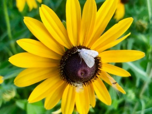Butterfly on a rudbeckia