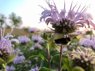 bumblebee sleeping under a bergamot
