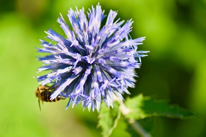 oursin bleu / Echinops ritro / southern globethistle