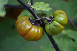 Aubergine africaine - aculeatum (solanum aethiopicum)