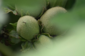 Tomates chauve souris (Solanum sessiliflorum)