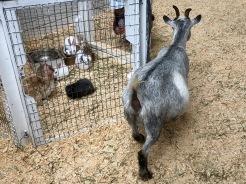 Lapins et chèvre