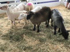 Mes préférés: moutons et brebis
