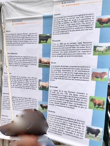 Infografique des vaches de boucherie