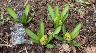 Jacinthe / Hyacinth