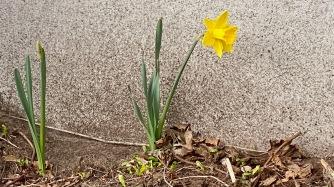 Jonquille / Daffodil