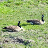 Bernaches / Geese