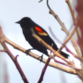 Carouge / Red-winged Blackbird