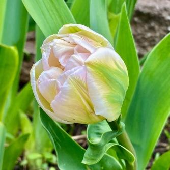 Unique tulipe