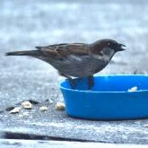 Moineau / Sparrow