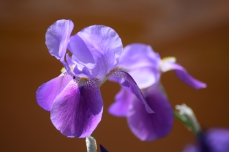 Iris barbu / Purple bearded iris
