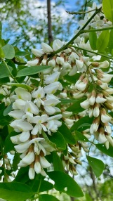 robinier faux-acacia / black locust [Robinia pseudoacacia]