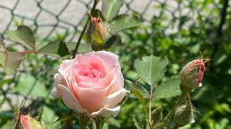 Rose [Rosa]