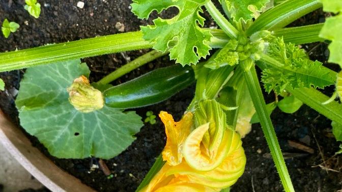 courgette / zucchini [Cucurbita pepo]