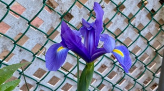 Iris de Hollande / Dutch iris [Iris × hollandica]