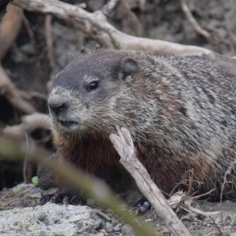 Marmotte / groundhog